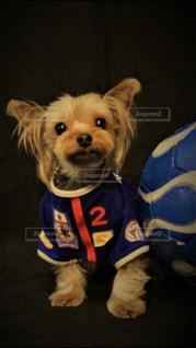 小型犬おもちゃで遊んでの写真・画像素材[1509003]