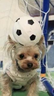 茶色と白の小型犬の写真・画像素材[1509004]