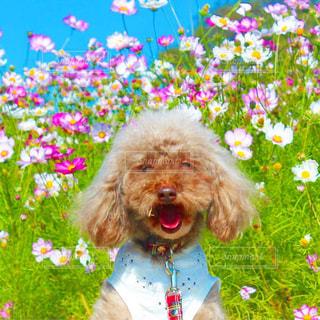 ピンクの花を身に着けている犬の写真・画像素材[1592471]
