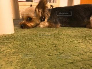 地面に横たわっている茶色と白犬の写真・画像素材[1630666]