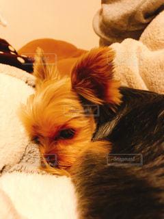 近くにベッドの上で横になっている犬のアップの写真・画像素材[1747804]