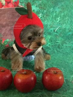 赤いリンゴを保持している犬の写真・画像素材[1768000]