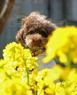 春,黄色,菜の花,イエロー