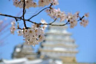 春,桜,花見,姫路城