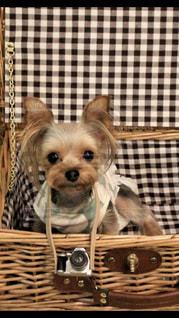 バスケットに座って犬の写真・画像素材[1839861]