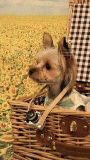 バスケットに座って犬の写真・画像素材[1839863]