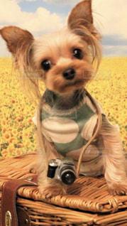 テーブルの上に座って小型犬の写真・画像素材[1839867]