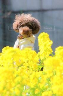 黄色の花とテディベアの写真・画像素材[1876644]