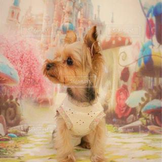 テーブルの上に座っている小さな犬の写真・画像素材[2129699]