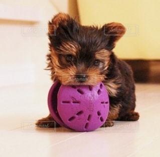 おもちゃで遊ぶ小さな犬の写真・画像素材[2700281]