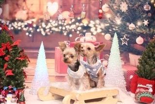 クリスマスツリーの隣に座っている犬の写真・画像素材[2787168]