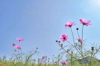 凧の飛行のフィールドにピンクの花 - No.790335