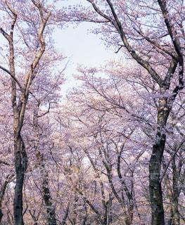 風景,桜,お花見,旅行,フィルム,雰囲気,自然光,フィルム写真,フィルムフォト