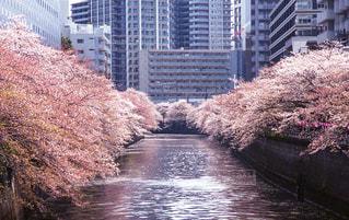 風景,桜,レトロ,樹木,お花見,旅行,目黒,目黒川,フィルム,雰囲気,カラー,自然光,フィルム写真,フィルムフォト