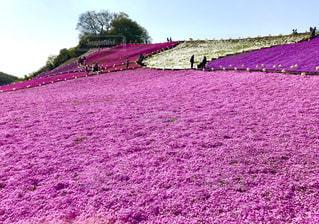 ドイツ村の芝桜の写真・画像素材[1122444]