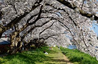 春,桜,満開,お花見,トンネル