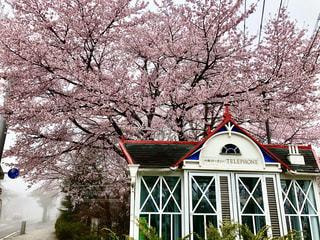 花,桜,木,ピンク,花見,霧,満開,レトロ,電話ボックス