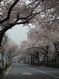 春,桜,ピンク,桜並木,東京都,3月