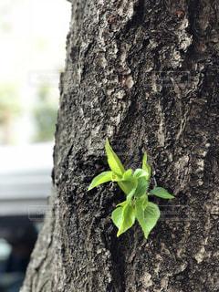 桜の木の新芽が出てきたの写真・画像素材[1163812]