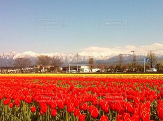 フィールドのカラフルな花のグループの写真・画像素材[1224600]