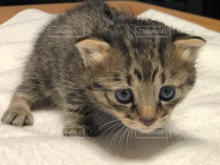 子猫の写真・画像素材[1292864]