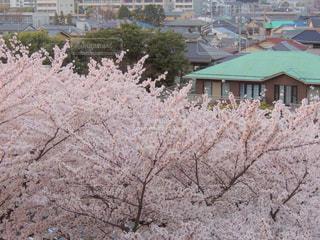 春,桜,ピンク,桃色,pink,4月,淡いピンク色
