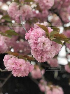 近くの花のアップの写真・画像素材[1443335]