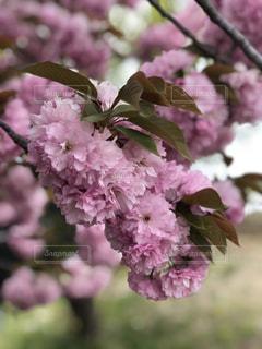 八重桜の写真・画像素材[1443336]