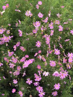 ピンクの秋桜の写真・画像素材[1497460]