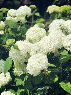 花,白,あじさい,紫陽花,ホワイト,庭の花