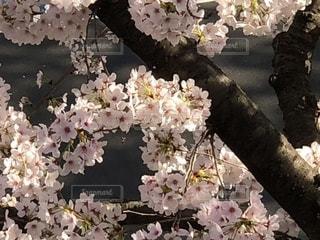 桜満開の写真・画像素材[1795707]