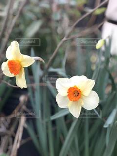 水仙の花の写真・画像素材[1997456]