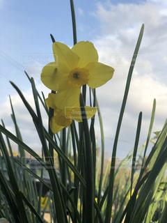黄色の水仙の写真・画像素材[1997515]