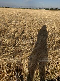麦畑,茶色,影,シルエット,ベージュ,ミルクティー色