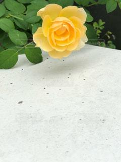 黄色のバラの写真・画像素材[2984539]