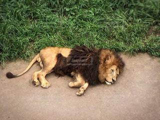 芝生で横になっているライオン - No.725316