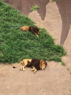 暑さがしんどいライオン達 - No.725324