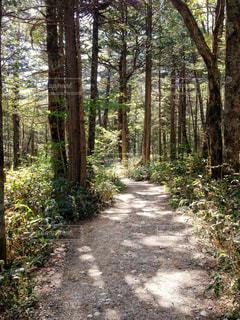 上高地の雑木林を進む小道の写真・画像素材[788003]