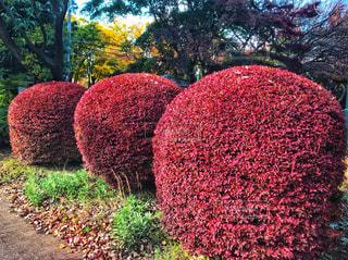 真っ赤なもこもこ樹木の写真・画像素材[871407]