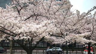 満開の桜の写真・画像素材[874252]