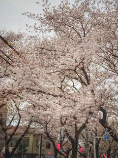 満開の桜の写真・画像素材[874260]