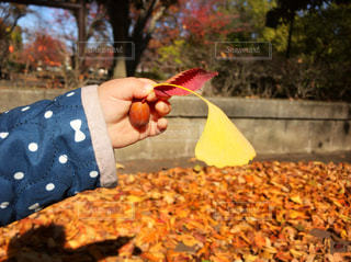 落ち葉とどんぐりの写真・画像素材[874921]
