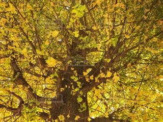 銀杏の木を見上げての写真・画像素材[880270]