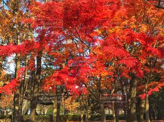 秋色に染まる綺麗な紅葉の写真・画像素材[896103]