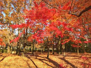 秋色に染まる樹木の写真・画像素材[896104]