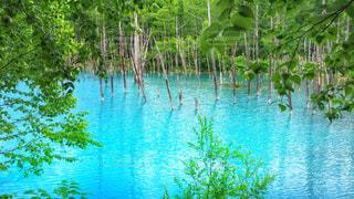 美瑛の青い池の写真・画像素材[910662]