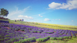 ラベンダー畑と草原の写真・画像素材[912509]