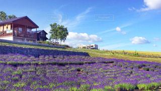 ラベンダー畑と小屋の写真・画像素材[912515]