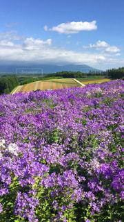 紫が広がるお花畑の写真・画像素材[913426]