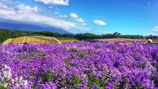 紫色に染まる花畑の写真・画像素材[913469]